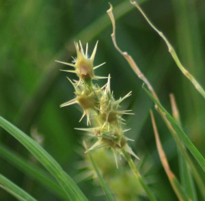 grassburs