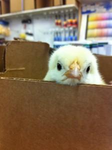 Stinking cute chick