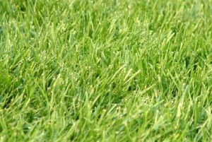 winter rye grass