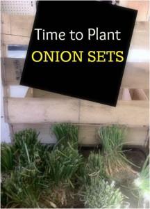 onion sets update