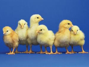 baby chicks 2