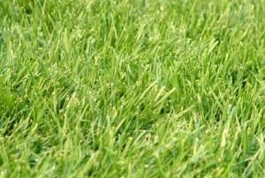 Planting Ryegrass