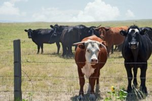 Hot Weather Alert: Help Your Cattle Beat the Heat