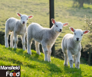 Transitioning Nursing Lambs